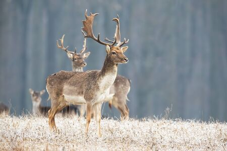 Fallow deer, dama dama, stag standing on a meadow in freezing cold in winter looking aside. Group of wild animals in wilderness. Horizontal composition of deer in nature with copy space.