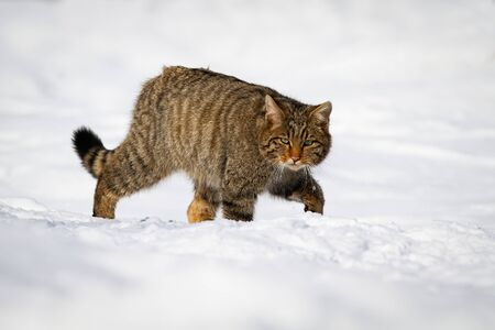European wild cat, felis silvestris, having a walk in winter snow and hunting. Curious cat of prey surrounded by white blanket of snow looking strictly into the camera.