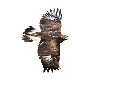 Side view of golden eagle, aquila chrysaetos, flying with wings spreading wide isolated on white background. Wild bird of prey in flight cut out. Fast animal moving. Stock Photo