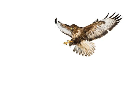 Wild common buzzard, buteo buteo, in flight catching prey with claws isolated on white background. Landing free bird with spred wings cut out on blank.