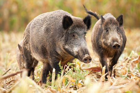 A group of three wild boars, sus scrofa, looking for food on the stuble. Undisturbed family of wild hog standing on the corner field in autumn. Wild animals feeding themselves.