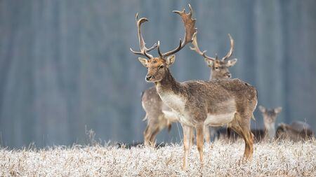 Herd of fallow deer, dama dama, in winter with frost covering dry grass in nature. Wild stag looking into distance early in the morning. Elegant mammal in nature. Standard-Bild