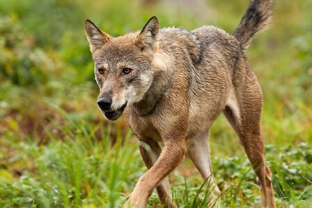 An attentive grey wolf, canis lupus, exploring its territory and looking to the distance. A walking canine predator hunting and trying to find some prey in the mountain environment.
