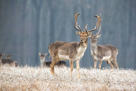 Wilde Brache, Dama Dama, Hirsch mit Geweih, die im Winter auf einer Wiese steht. Mehrere Tiere beobachten neugierig in der Wildnis. Tierlandschaft aus der Natur.