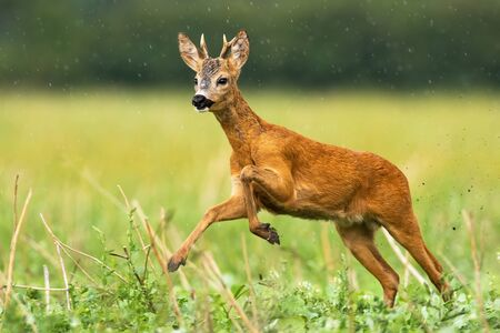 A curious roe deer buck, capreolus capreolus, running trough the wet grassy field. A runaway wild ruminant trying to escape from the summer raindrops. Galloping vital mammal in wilderness.