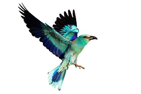 European roller, coracias garrulus, landing and holding a bark beetle isolated on white background. Vital blue stocky bird in the air with a catch in the beak.