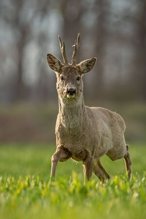 Roe deer, capreolus capreolus, buck in spring walking on a filed. Morning wildlife scenery from nature. Alerted wild deer approaching. Portrait orientation. Stock Photo