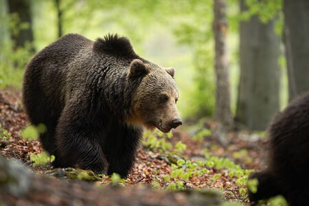 A massive brown bear, ursus arctos, with the wet fluffy coat grazing in the wilderness. European predator following the other one. A dominant beast of prey with open mouth.