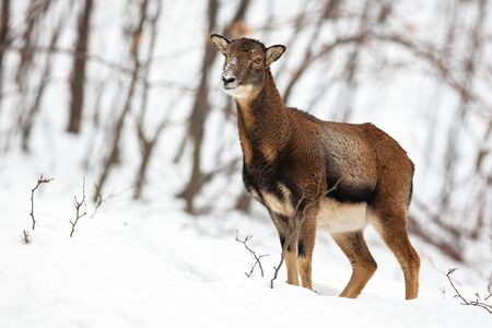 Uncertain wild female mouflon, ovis musimon, sheep standing and looking aside in forest with snow. Animal looking in wintry wilderness with blurred background.