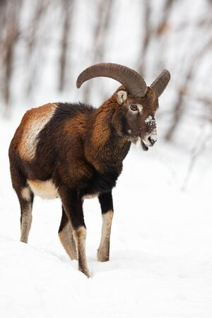 Male mouflon, ovis musimon, walking and chewing in winter forest covered in snow. Wild animal searching for food in chilly conditions. Vertical close-up of ruminant. Stock Photo