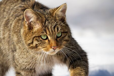 Adult european wildcat, felis silvestris, sneaking on a hunt in winter. Close-.up of wild animal with intense look moving in nature. Head of mammal in wilderness.