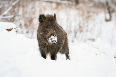 Young wild boar, sus scrofa, piglet with snow on snout looking curiously in wintertime. Hairy cute animal watching on a meadow in nature with copy space.