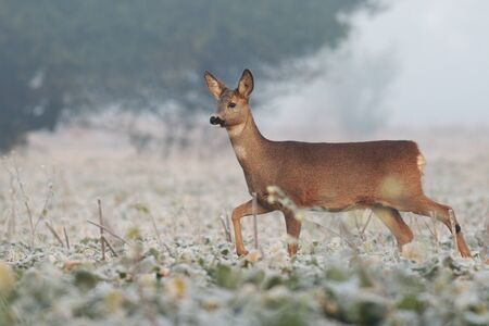 Roe deer, capreolus capreolus, doe walking through agricultural field in winter with frost on leaves. Female mammal with brown fur making a step with a leg mid-air in nature in Europe.