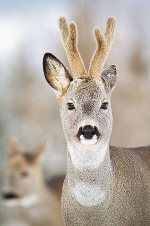 Detail of roe deer, capreolus capreolus, buck watching with dark eyes in winter. Wild male animal with antlers in cold weather facing camera. Herbivore in nature.