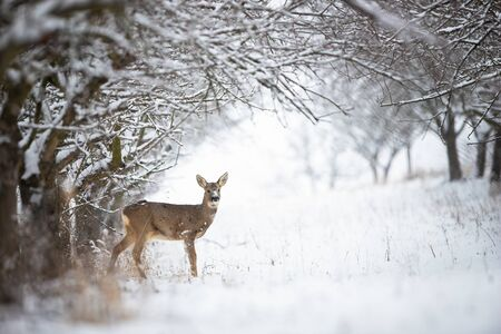 Solitary roe deer, capreolus capreolus, doe standing on snow in forest with copy space. Female wild animal looking to camera and standing between trees.