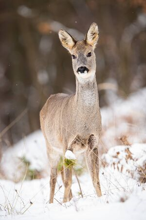 Attentive roe deer, capreolus capreolus, doe standing on a clearing in woodland on snow during winter. Vertical front view of female animal with brown fur facing camera. Stock Photo