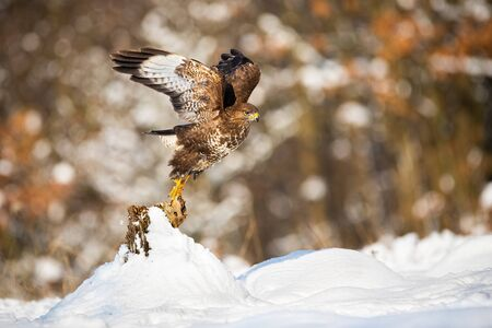 Common buzzard, buteo buteo, taking of from a tree stump covered with snow in winter nature. Wild bird of prey flying low and spreading wings with copy space.