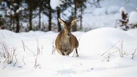 Red deer, cervus elaphus, hind making a step with leg in the air in deep snow in wintertime. Wild hoofed female mammal surviving in chilly environment.