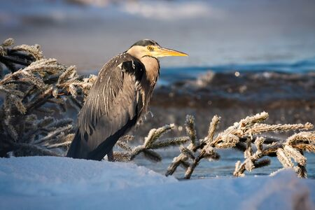 Grey heron, ardea cinerea, standing near river with water flowing in background at sunrise. Wild bird standing and relaxing in nature surrounded by snow.