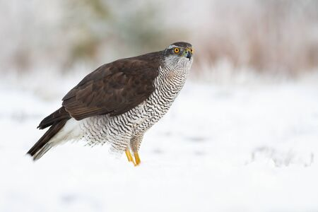Side view of adult northern goshawk, accipiter gentilis, sitting on the ground covered with snow in wintertime. Wild bird of prey in nature with copy space