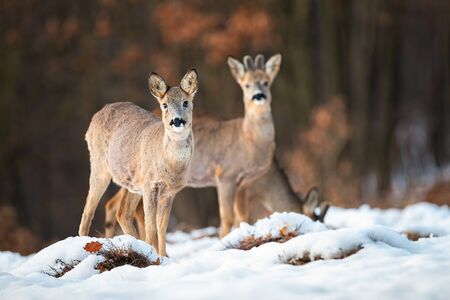 Roe deer, capreolus capreolus, doe and buck looking at camera on a snow covered meadow in wintertime. Wild mammals with brown fur in wilderness in Slovakia, Europe. Banco de Imagens