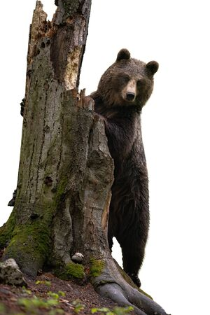Majestic brown bear, ursus arctos, standing by a trunk of an old broken tree isolated on white background. Wild animal on back legs in vertical position in forest.