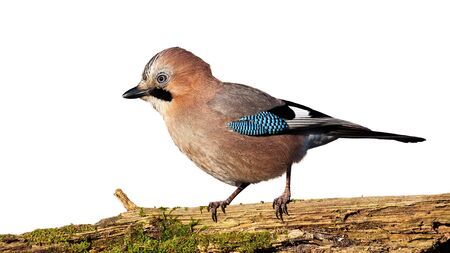 Eurasian jay, garrulus glandarius, sitting on a branch covered with moss isolated on white background. Wild bird in nature in sunshine cut out on blank.