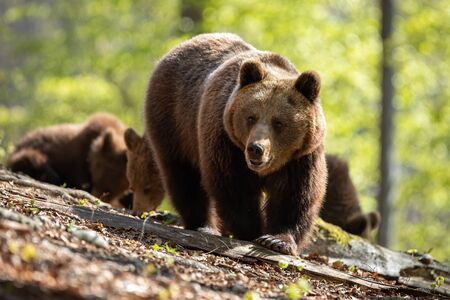Dominant female of brown bear, ursus arctos, with big claws walking through the sunny woods with her babies in the background. Bear family grazing on the leaves and in the sun.