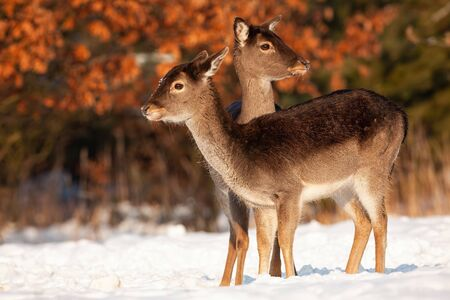 Wholesome fallow deer, dama dama, family standing close together on snow in winter. Group of two wild animals at sunset in nature. Doe and fawn in harmony.