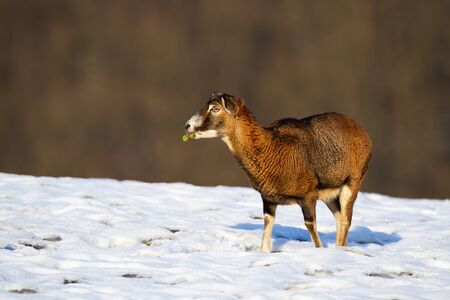 Mouflon, ovis orientalis, ewe feeding on a agricultural field covered with snow in winter at sunset. Female wild sheep in nature with copy space. Animal wildlife.