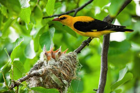 Eurasian golden oriole, orilus oriolus, with yellow and black plumage breeding little hatchlings sitting in a nest close together. Birds nesting in summer.