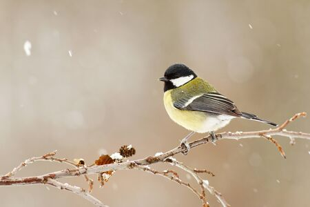 Great tit, parus major, sitting on a twig in winter during snowfall. Songbird with yellow feathers and black head in garden with copy space. Wild animal in rural environment.