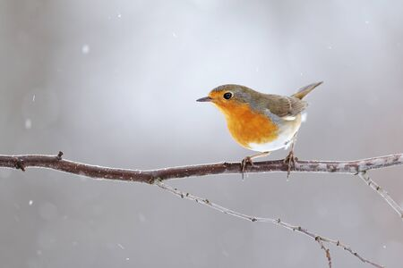 European robin, erithacus rubecula, with orange feathers on breast sitting on a twig in winter. Small bird in garden during snowfall. Wild animal in rural environment. Stock Photo