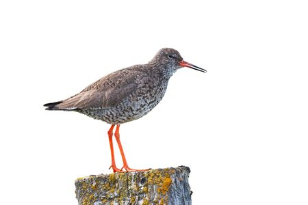 Common redshank, tringa totanus, standing on a moss covered pole isolated on white white background. Shorebird in nature of Iceland, Europe, from side view cut out on blank.