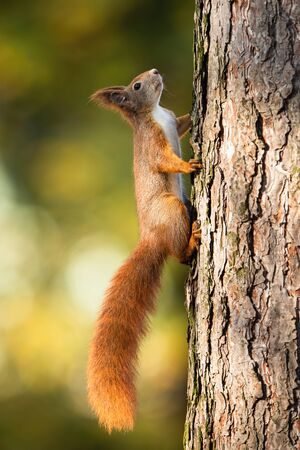 Red squirrel, sciurus vulgaris, climbing up a pine tree in forest with sunlight and green blurred background. Vertical composition of cute little rodent with fluffy tail. Stock Photo