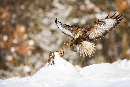 Common buzzard, buteo buteo, landing on a tree stump covered with snow in winter. Wild bird of prey with brown plumage and yellow claws flying with wings open.
