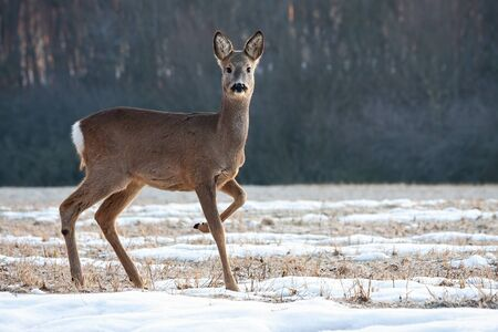 Roe deer, capreolus capreolus, doe walking on a meadow with snow and grass in winter. Wild animal with brown fur marching with leg in the air in wilderness.