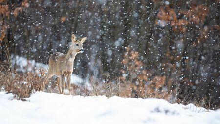 Roe deer, capreolus capreolus, doe standing in blizzard with snowflakes falling in winter. Wild mammal watching in cold weather on a glade in forest with copy space. Stock Photo