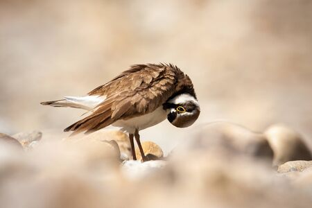 Little ringed plover, charadrius dubius, cleaning its feathers and standing on rocks in nature. Hygiene of wild animal in wilderness. Adult wild bird in sunshine.