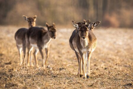 Front view of a numerous fallow deer, dama dama, herd approaching on a meadow in spring. Low angle telephoto shot of brown female mammal walking forward in nature.