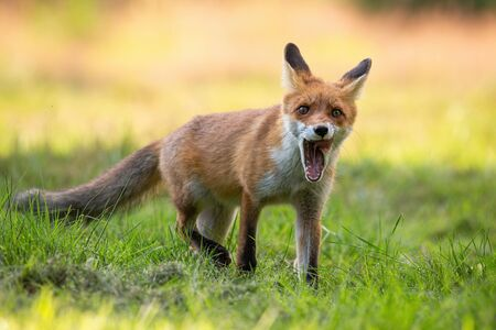 Red fox, vulpes vulpes, cub yawning with mouth open and licking with pink tongue on a green meadow in summer at sunset. Sleepy wild animal with orange fur. Stock Photo