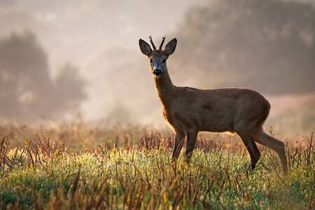 Interested roe deer, capreolus capreolus, buck watching on a field with green grass wet with dew in the summer morning. Male mammal in nature, Slovakia, Europe. Stock Photo