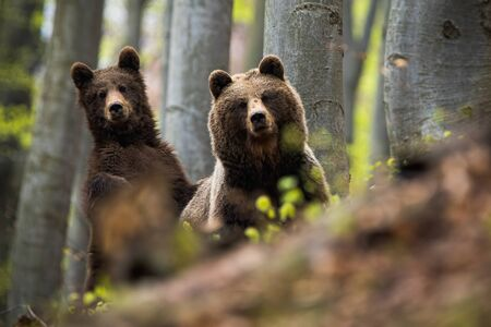 Little cube of brown bear, ursus arctos, standing and laying his paw on his fluffy mother among the trees. A pair of forest predators posing in the beechwood. Bear family in the forest. Stock Photo