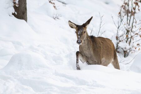 Red deer, cervus elaphus, hind in walking through deep snow in winter. Animal going in woodland with frost all around. Wild mammal in natural habitat. Stock Photo