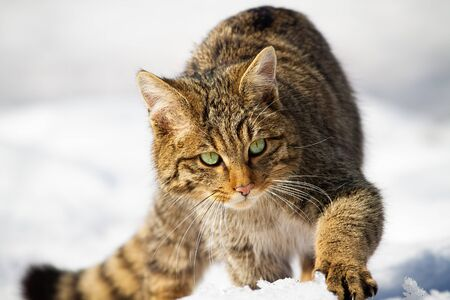 Wild european wildcat, felis silvestris, approaching in winter. Detailed front view of animal with fur and green eyes walking on snow. Wildlife in nature hunting. Stock Photo
