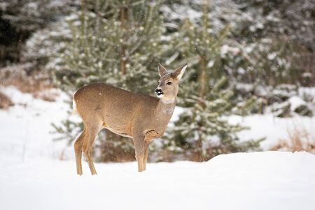 Attentive roe deer, capreolus capreolus, paying attention while snowing in wintertime. Adult doe standing in the middle of the winter forest with snow on the nose. Stock Photo