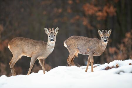 Two wild roe deer, capreolus capreolus, bucks watching in winter nature standing on snow. Young mammals with growing antlers covered in velvet in natural habitat. Stock Photo