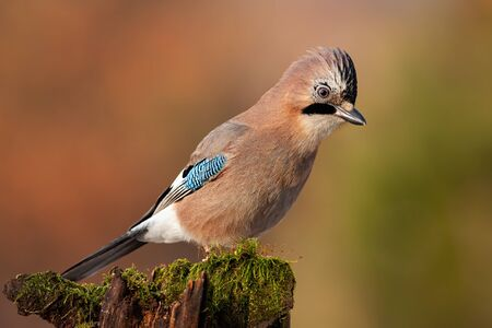 Eurasian jay, garrulus glandarius, sitting on top of old tree trunk with green moss at sunset. Interested wild bird with brown and turquoise plumage from side view in nature. Stock Photo