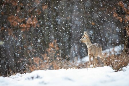 Female roe deer, capreolus capreolus, doe standing on a meadow covered with snow and forest in background during snowfall. Animal wildlife in winter with copy space.