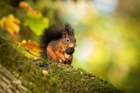 Red squirrel, sciurus vulgaris, sitting on a moss covered branch and holding a nut in autumnal forest with copy space. Cute wild animal with big eyes climbing trees.